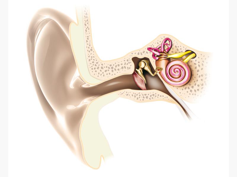 L'oreille, vue en coupe