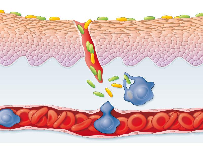 Mécanisme de la phagocytose