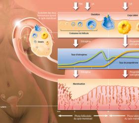 illustration-medicale-scientifique-didactique-cycle-ovarien-estrogene