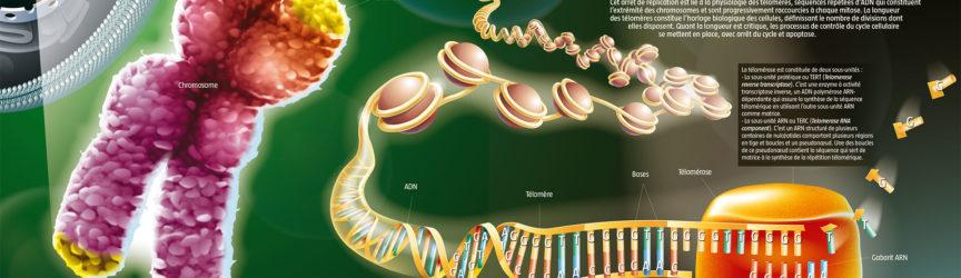 illustration-medicale-scientifique-didactique-telomerase-nobel-medecine-vieillissement-cancer