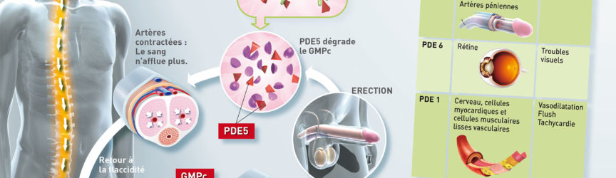 illustration-medicale-scientifique-dysfonction-erectile-erection