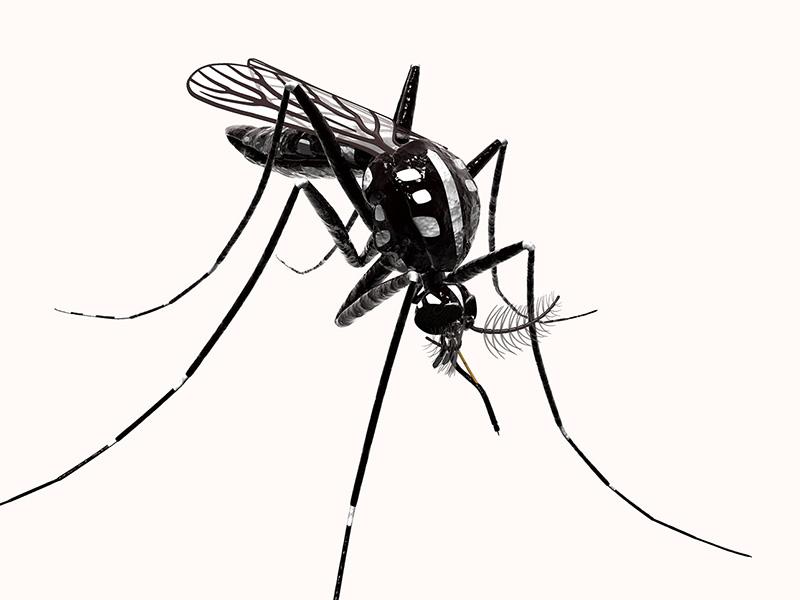 Moustique Aedes albopictus